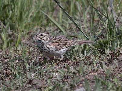 Vesper Sparrow Mammoth Lakes 2020 05 24-1.CR2