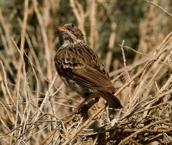 Vesper Sparrow   Chidalgo Canyon Ca. 2011 07 31-2.CR2