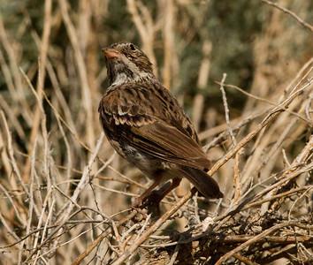 Vesper Sparrow   Chidalgo Canyon Ca. 2011 07 31-2.CR2