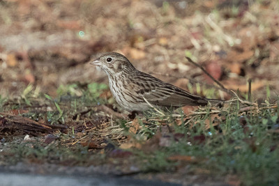 Vesper Sparrow Tijuana River Valley San Diego 2018 12 8-2.CR2