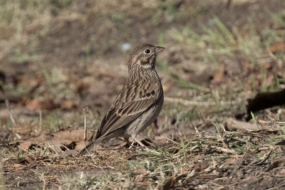 Vesper Sparrow Tijuana River Valley San Diego 2018 12 8-3.CR2