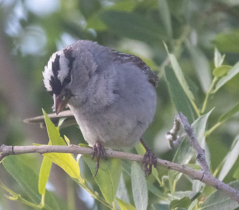 White-crowned Sparrow (Oreantha) Mammoth Lakes 2021 06 23-1.CR3
