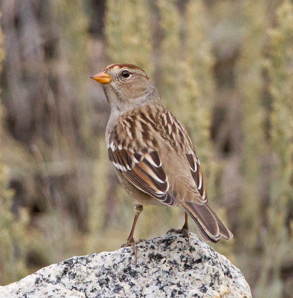 White-crowned Sparrow Lee Vining Canyon  2014 09 19 (2 of 5).jpg