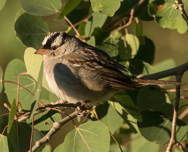 White-crowned Sparrow Oreantha Mammoth Lakes 2017 06 29-5.CR2-1.CR2