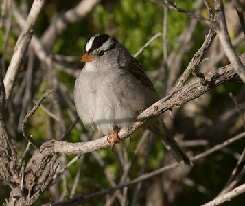 White-crowned Sparrow Carlsbad 2019 04 21-2.CR2