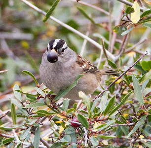 White-crowned Sparrow Lee Vining Canyon  2014 09 19 (3 of 5).CR2