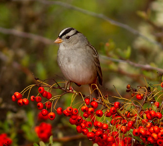 White-crowned Sparrow  Carlsbad 2013 11 22-1.CR2