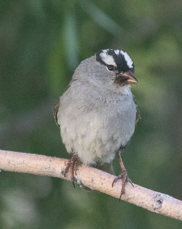 White-crowned Sparrow (Oreantha) Mammoth Lakes 2021 06 23-3.CR3
