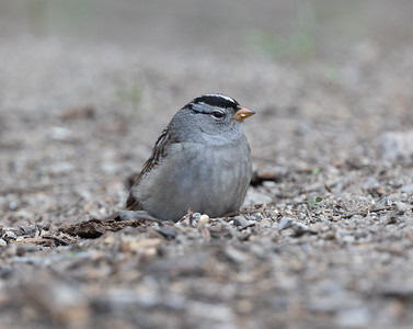 White-crowned Sparrow  (Gambel`s)  Mammoth Lakes 2021 05 16-217.CR3