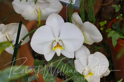 2677-White Orchids