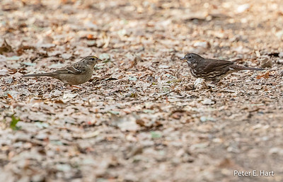 Fox and Golden Crown Sparrows