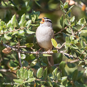 White-crowned Sparrow adult male singing. Songs differ depending on where the bird lives.