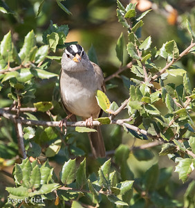 White-crowned Sparrow adult showing off its white crown flanked by two black stripes.