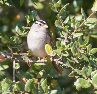 White-crowned Sparrow adult. Note its pearly gray chest and belly.