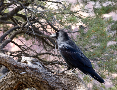 Ravens the size of ducks, here