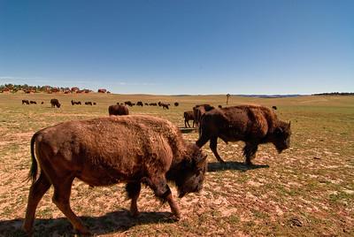 Utah buffalo