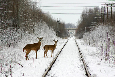 """White Tailed Deer"" Score:15"
