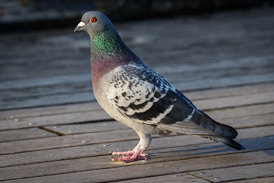 Pigeon on Penarth Pier