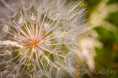 """Giant Dandelion"""