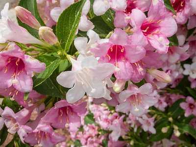 Weigela in Weymouth