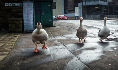 Geese on the street in Sowerby Bridge