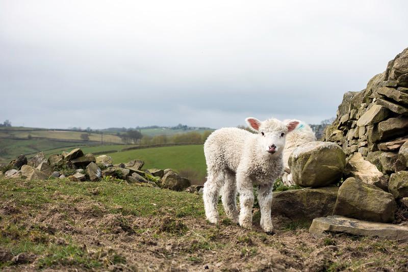 Lamb in Oakworth
