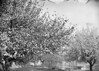 "#1118 - ""Apple blossoms on Woodland St.; Spring 1901"