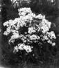 #1585 - Mountain laurel