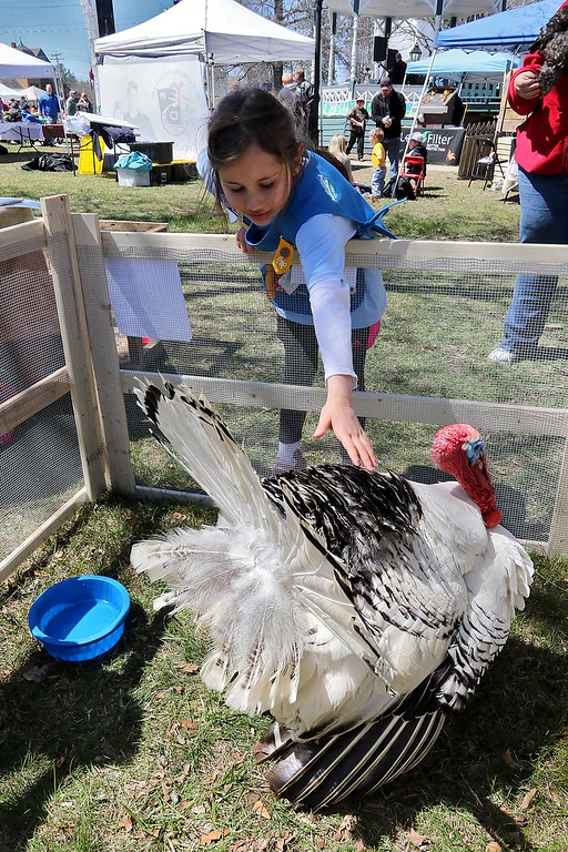 . Zoe Bower, 7, from Townsend got to pet a turkey on the Townsend common Saturday during Townsend\'s Earth Day event. SENTINEL & ENTERPRISE/JOHN LOVE