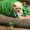 76/365 - Even Pearlie Mae got into wearing of the green...Ricky thinks he's seeing things.