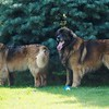 Nox's sire, Mimir, on the right at 8 years old
