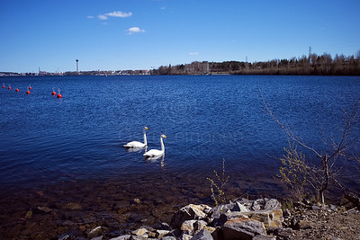 Swans In The Lake Näsi