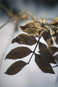 Winter Still Life XIX (Rose)