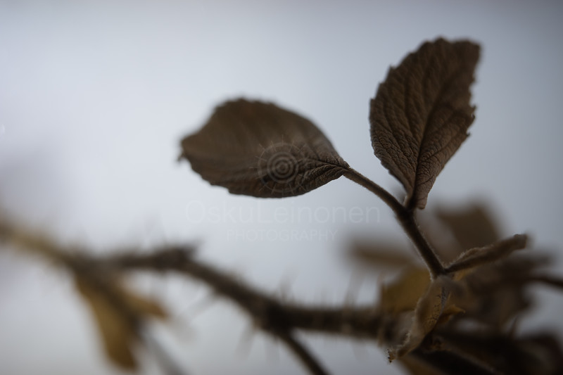 Winter Still Life XXII (Leaf)