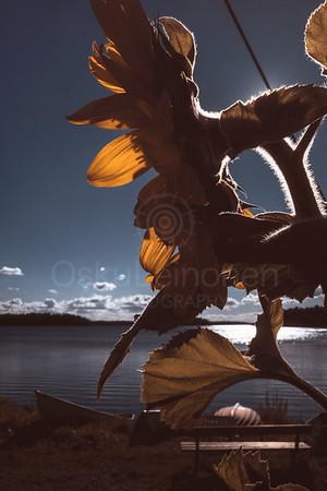 Sunflower And Sun III