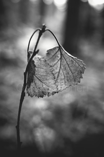 Embrace III (Leaf Black And White)