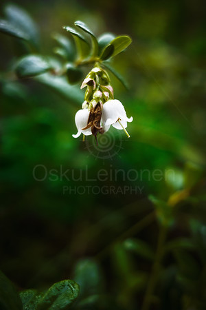 Lingonberry Flower I