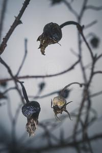 Winter Still Life XIII (Rose)