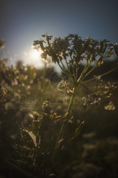 Warm Summer Days II (Plant)