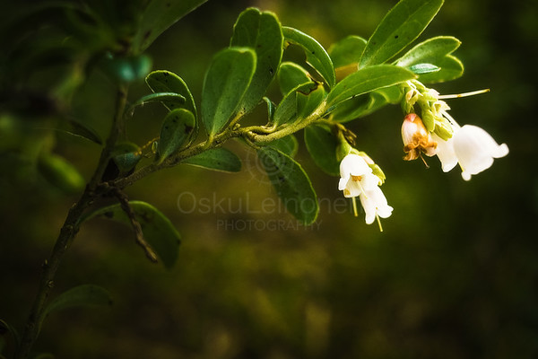 Lingonberry Flower II