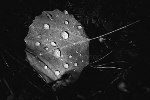 Light In The Woods (Leaf And Water Drops)