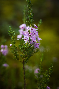 Heather I (Forest)