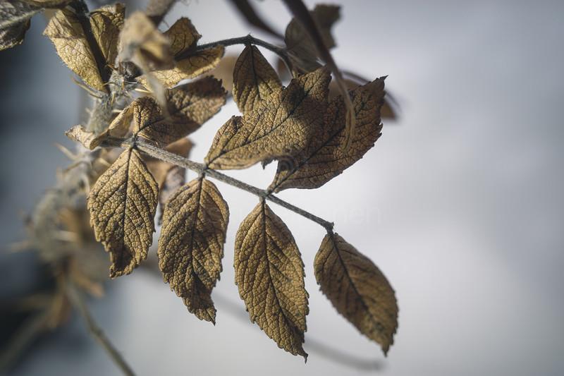 Winter Still Life XVIII (Rose)