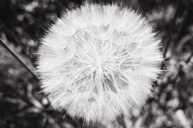 Multiple Seeds I (Dandelion)