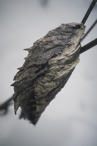 Winter Still Life XI (Leaf)