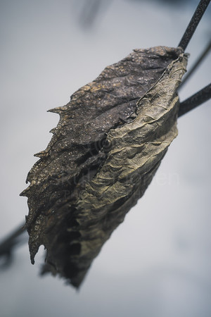 Winter Still Life XII (Leaf)