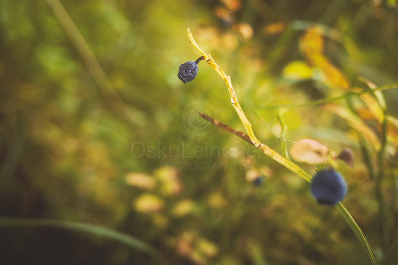 Blueberry II (Old)