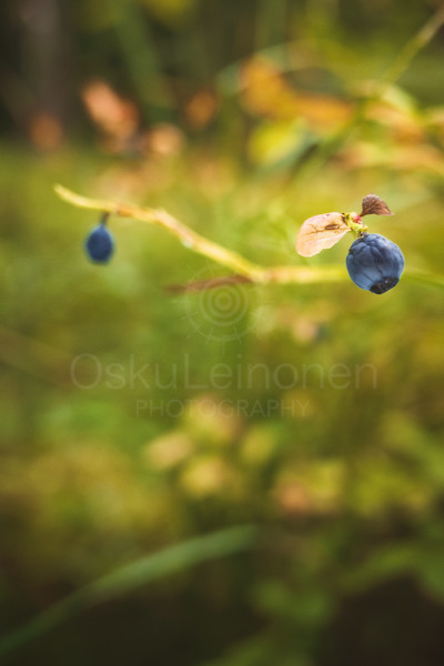 Blueberry IV (Old)