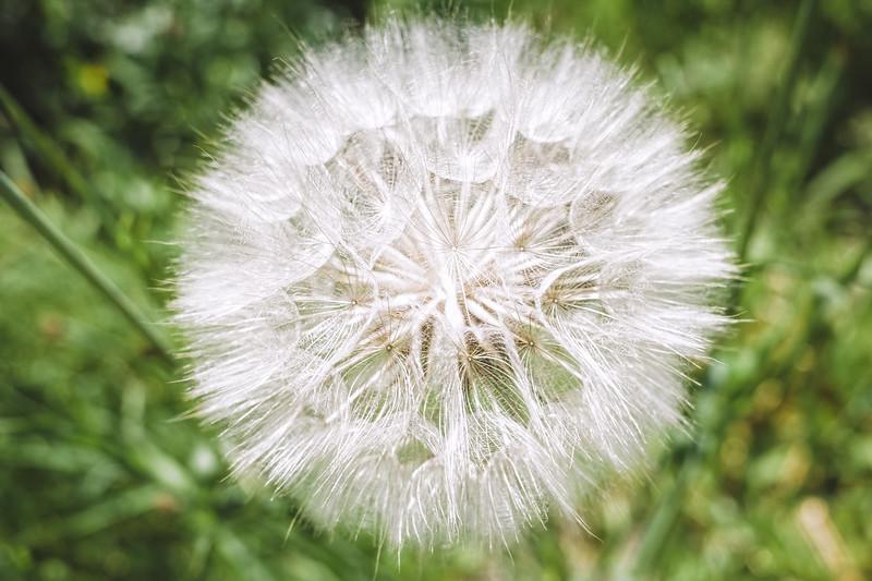 Multiple Seeds II (Dandelion Colours)