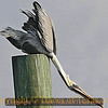 """Title:   Pelican Yoga <br /> <br /> Comments: This pelican is doing the yoga pose called """"Downward Dog.""""<br /> <br /> Location: Rockport"""